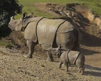 SAVE THE MOST ENDANGERED OF THE RHINOS, JAVAN RHINOCHEROS. http://www.thepetitionsite.com/568/568/864/save-the-most-endangered-of-the-rhinos-javan-rhinocheros/# @SeaShepherd #defendconserveprotect