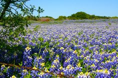 Texas Bluebonnets Spring 2012 Highway 51