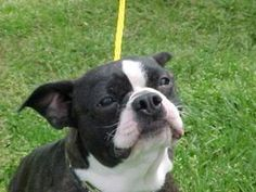 Dylan Chumley KY is an adoptable Boston Terrier Dog in Lexington, KY. Dylan Chumley is such a sweet, sweet Boston boy! Dylan was pulled from an IN humane society when his time was getting close to bei...