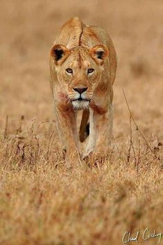 Luna walked broadly in a wheat covered field. Her pelt stained with crimson colored blood from a lone hunt. Her muscles rippled on her body as she made her way back to the pride lands. (( Open. Maybe a guy that's interested in her ))