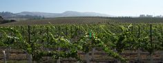Kessler-Haak Vineyard is a twenty-nine acre vineyard located on Highway 246 in the cooler northwestern section of Sta. Rita Hills. It was planted in 2005 with 26 acres of Pinot Noir and 3 acres of Chardonnay.