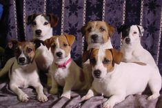 jack russells - Google Search