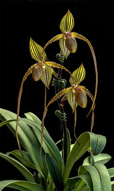 Must be the sanderianum. Paph Formosa Lady (Susan Booth 'Yu-Pin' x sanderianum 'In-charm'). Unusual Flowers, Rare Flowers, Flowers Nature, Tropical Flowers, Amazing Flowers, Green Orchid, Orchid Plants, Lady Slipper Orchid, Fairies Garden