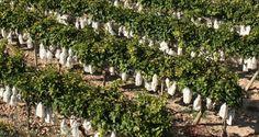 Entre huillet et août, on pose environ 250 millions de sachets pour une production moyenne de 150.000 tonnes.