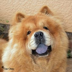 images of chow chows | Red Chow Chows - Rough and Smooth This makes me think of my Precious