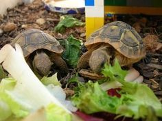 How Long do Tortoises Live? The Life of a Tortoise Tortoise As Pets, Sulcata Tortoise, Turtle Supplies, Baby Supplies, Box Turtle Habitat, Animals And Pets, Baby Animals, Jaguar, Popeye And Olive