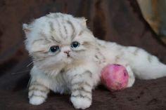 Persian kitten By Tsybina Natali - Bear Pile