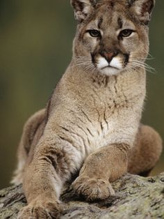 lynx cougars personals Wtf: are there catamounts in vermont  the canada lynx — an endangered species that seems to be making a  and a cougar carcass was discovered on a.