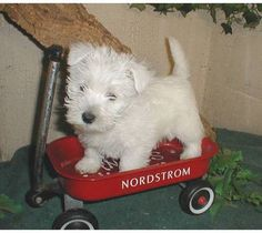 AKC West Highland White Terriers (Westie) Puppies Must See!!