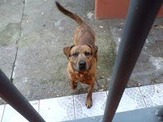 Adote, Não Compre!: Brown - cachorro caramelo muito amoroso para adoçã em RS