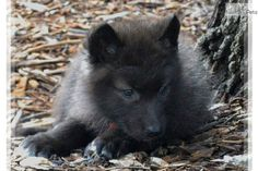Meet BLACK CUB a cute Wolf Hybrid puppy for sale for $900. BLACK WOLF CUBS - EXOTIC & BEAUTIFUL