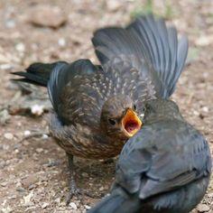 Someone is a little peckish… Blackbirds fledging @ntcalke. Photo: Jason Bowler