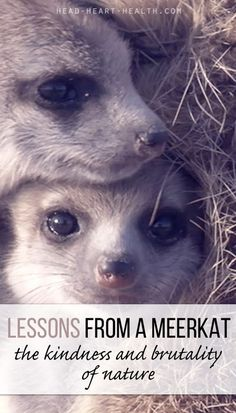 Lessons from a Meerkat - the kindness and brutality of nature >> http://head-heart-health.com/8309/lessons-from-a-meerkat