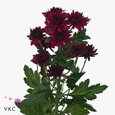 Chrysant spr. barca is a multi-headed Red cut flower. Approx. 70cm & wholesaled in Batches of 20 stems. A superb flower with endless possibilities in floristry.