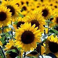 Growing sunflowers is a good project to introduce kids to gardening. The seeds are large & grow easily. They attract all forms of wildlife to your garden.
