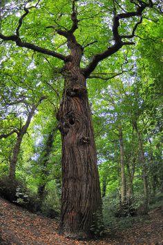 Tree at Cobtree Manor Park, Maidstone