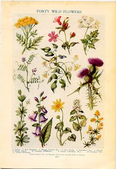 Vintage Botanical Prints - Forty Wild Flowers  - 1926  Lithographs  For Framing