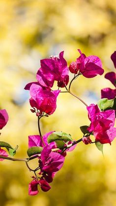 Bougainvilea, I love this plant...in India it grows in large hedges....so gorgeous! I always have one growing in a hanging pot on the end of my porch, even lives inside over the winter...