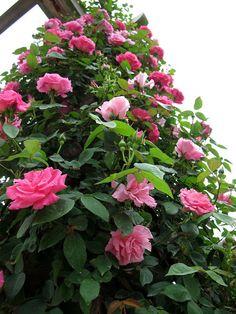 Rosas singelas e lindas !!