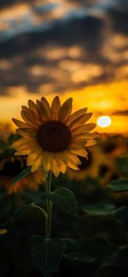 Best 4k Wallpapers For Mobile Android Wallpaper Hd 1080p With Images Sunflower Iphone Wallpaper Sunflower Wallpaper Backgrounds Phone Wallpapers