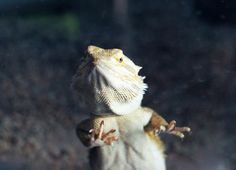 Glass surfing is a common behavior for bearded dragons. Learn why they do it and what you can do to ensure that your pet reptile is happy and healthy.