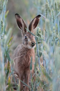 Brown Hare by Kevin Sawford Photography Animals And Pets, Baby Animals, Cute Animals, Wild Animals, Beautiful Creatures, Animals Beautiful, Bird Ears, Rabbit Art, Bunny Art