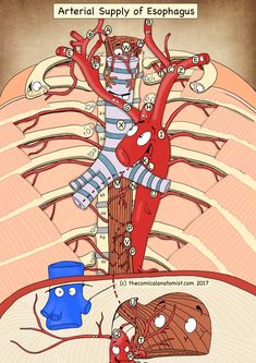Arterial Supply of the Esophagus - The Comical Anatomist Nursing School Notes, Best Nursing Schools, Nurse Pics, Medical Art, Medical School, Nursing Mnemonics, Medical Illustration, Graphic Illustration, Medical Anatomy