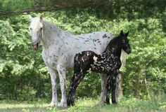 Mystic Warrior-he's my favorite friesian cross. He's black as a foal, but greyed out quite a bit as an adult