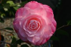 Camellia for a bouquet or center pieces? Love the fullness without having boring old roses.