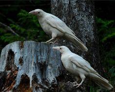 albino ravens?