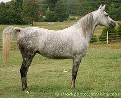 Arab horse - The breed is brave, spirited  intelligent