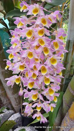 Dendrobium mousmee, a 1941 hybrid between the Vietnamese Dend. furcatum x and Indian Dend.thyrsiflorum.