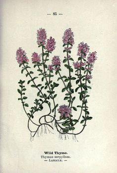 Thymus serpyllum- Wild Thyme/Creeping Thyme Wayside and Woodland Blossoms, a Pocket Guide to British Wild-Flowers for the Country Rambler.Edward Step, 1895.