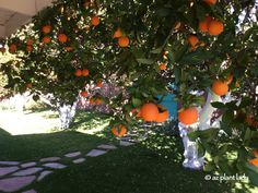 RAMBLINGS FROM A DESERT GARDEN....: Creative Ways To Get the Most Out of Citrus