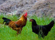 Ayam Kampung - Google Search