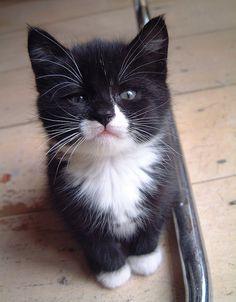 Sweet Lil' Tuxedo Kitten... Look like mine when I was young...