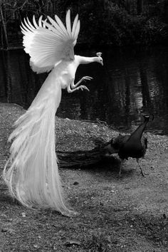 black and white photo of a white and normal colored peacock. I just decided I someday want these i the NW
