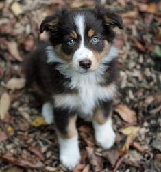 Australian Shepherd. I need one of these :-) So cute!