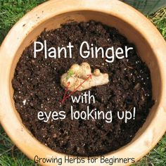 To Grow Ginger Indoors [Step-by-Step] - Top 10 TIPS Grow ginger in your home and you will always have fresh, tender and fiberless ginger root on hand.Grow ginger in your home and you will always have fresh, tender and fiberless ginger root on hand. Grow Ginger From Root, Growing Ginger Indoors, Growing Herbs, Fresh Ginger, Planting Ginger Root, Ginger Plant, Herb Garden, Lawn And Garden, Vegetable Garden