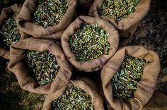 What's in Bertolli Olive Oil? Just One Single Ingredient - Olives Fresco, Bertolli Olive Oil, Olive Oil Nutrition, Wellness Institute, Green Fruit, Best Oils, Liquid Gold, Bright Future, Light Recipes
