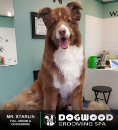 Mr. Starlin is in the house for a Full Groom and Deshedding @ Dogwood Grooming Spa - Knoxville!   Visit our website @ dogwoodgroomingspa.com or Call us at (865) 297-4277 to book an appointment for your pet!  #petcolor #creativegrooming #creativegroomer #petstylist #deshedding #dogwoodgroomingspa #petgroomerknoxville #petgroomer #petgrooming #doggrooming #doggroomer #cityspotz #knoxville