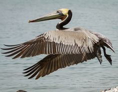 Adult Pelican (Pelecanus occidentalis) taking flight across the bay at the La Paz harbor -  Back to Baja! | Show Me Nature Photography
