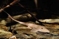 Pseudohemiodon laticeps - Giant Whiptail Catfish