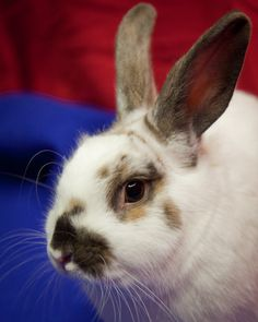 Did you know that rabbits make excellent indoor pets? I didn't until I visited the Seattle Animal Shelter's website. If you are interested in adopting a rabbit, the shelter has quite a few of them. Here is one special guy who could use a stable home.