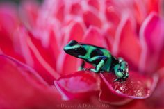 """Dr DAD (Daniel A D'Auria MD) posted a photo:  The Green and Black Poison Dart Frog has been called by many other names. Personally, I think """"adorable"""" fits the bill quite well. It is a highly variable species when it comes to coloration, with some actually appearing more blue than green. Their toxins are released on their skin in response to stress, but they must be ingested, or introduced onto a mucous membrane or into an open wound. The toxins are capable of killing a human, so handling…"""