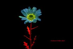 Flower under blue light- Okinawa, Japan | by Okinawa Nature Photography