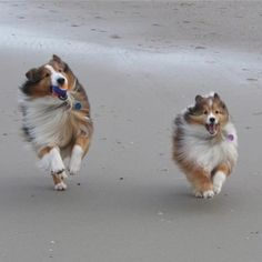 "Click visit site and Check out Cool ""SHELTIE"" T-shirts. This website is top-notch. Tip: You can search ""your name"" or ""your favorite shirts"" at search bar on the top."