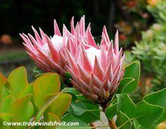 Image result for protea flower images