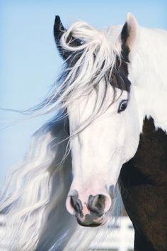 (95) Hope of Glory Gypsy Horses - Photos
