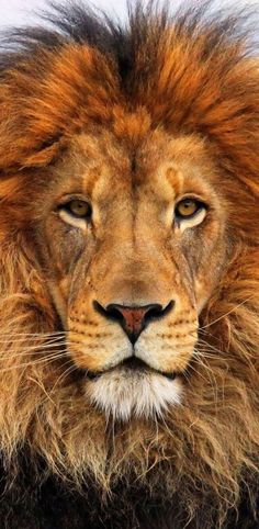 Lion ✿⊱╮beautiful close up photography